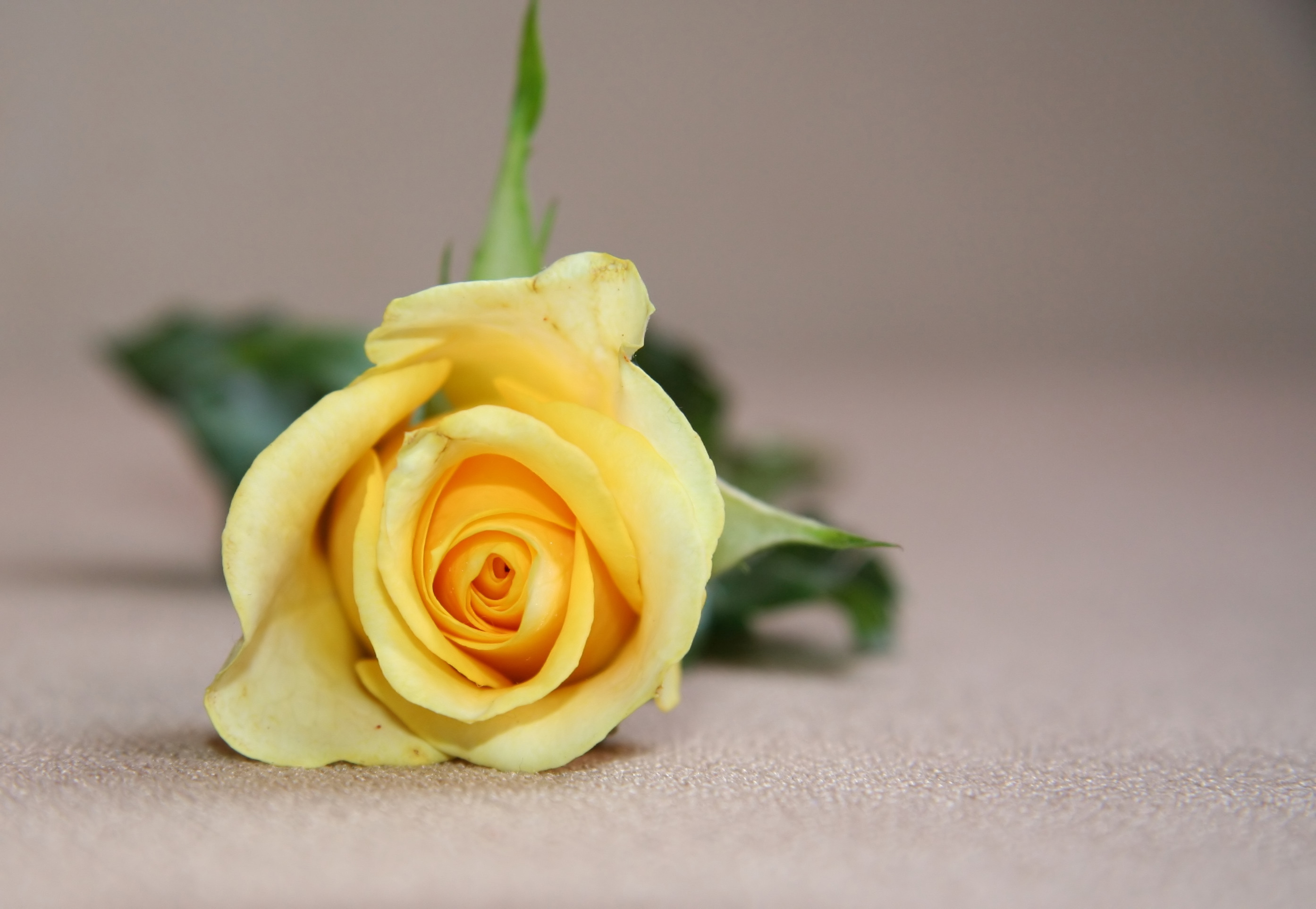 how to draw a yellow rose